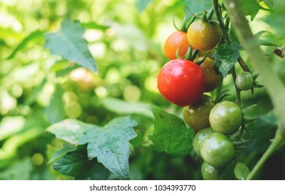 Fresh ripe red tomatoes and the tomato is not ripe yet hanging on the vine of a tomato tree in the garden.