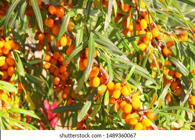 Fresh ripe sea buckthorn. Close-up. Background.