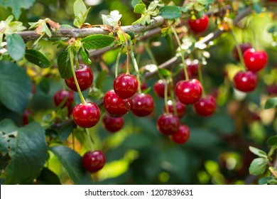 Fresh ripe sour cherry hanging on cherry tree in orchard, ingredient for cherry pie or jam
