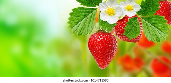Fresh ripe strawberries in the garden