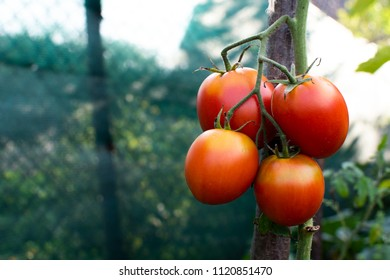 Fresh ripe tomatoes on branch growing in garden. Copy space.