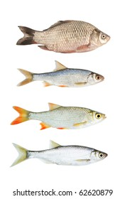 Fresh river fish collection isolated on white