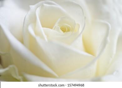fresh rose background , closu up , soft focus