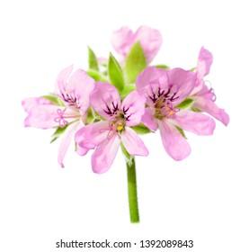 fresh Rose Geranium flowers isolated on white background