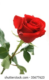Fresh rose of red color on a light background.