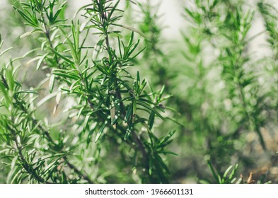 Fresh rosemary herb grow outdoor. Rosemary leaves close-up. Fresh organic flavoring plants growing. Seasonings, nature healthy flavoring, cooking. Ingredients for food.