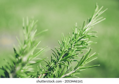 Fresh rosemary herb grow outdoor. Rosemary leaves close-up. Fresh organic flavoring plants growing. Seasonings, nature healthy flavoring, cooking. Ingredients for food.