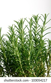 Fresh rosemary herb used in perfumery and in cooking as a flavouring for meat and poultry isolated on white