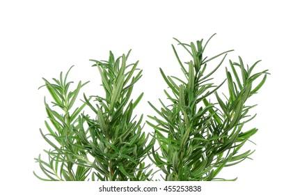Fresh Rosemary isolated on a white background