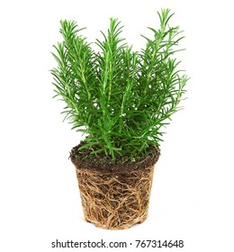 a fresh rosemary plant on white background