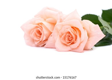 Fresh roses on a white background