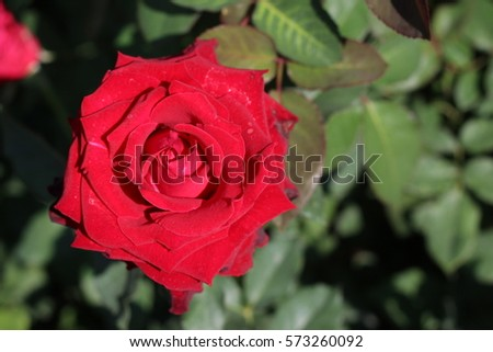 Fresh Roses Red On Field Flowers Stock Photo Edit Now 573260092