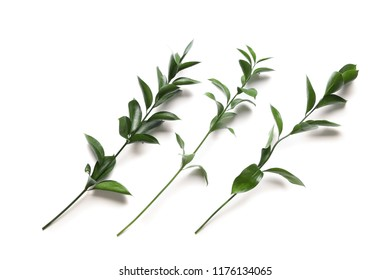 Fresh ruscus branches on white background