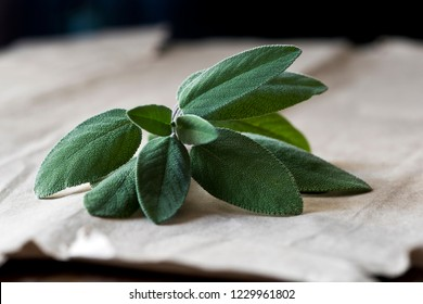 A fresh sage (also called garden sage, common sage, or culinary sage) twig with leaves on a paper background