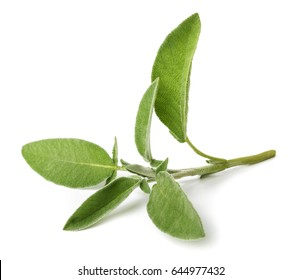 fresh sage isolated on white background