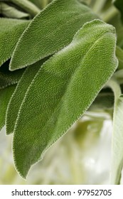 Fresh sage leaves on a white background