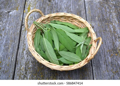 Fresh sage Salvia officinalis medical leaves in wicker basket on old wooden garden table