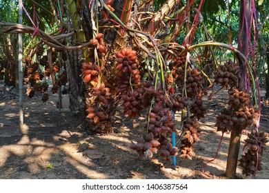 Fresh Salacca zalacca or Salak fruits in the Salak tree garden fruits. Thai fruits.