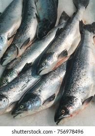 fresh salmon fish. salmon fish on ice background on sea market.