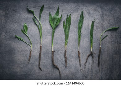 Fresh salsify plants composition on rustic scratchy background