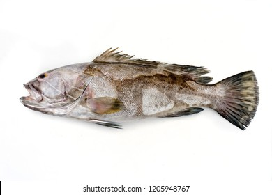 Fresh saltwater white grouper as top view on white background with copy space – isolated