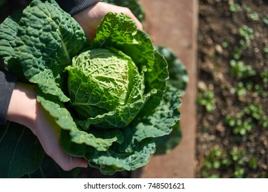 Fresh Savoy Cabbage - Brassica oleracea sabauda Whole green Savoy cabbage with curling leaves - on the garden