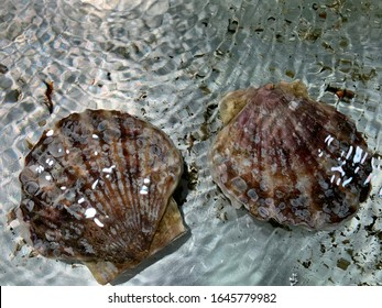fresh scallop in the clear water
