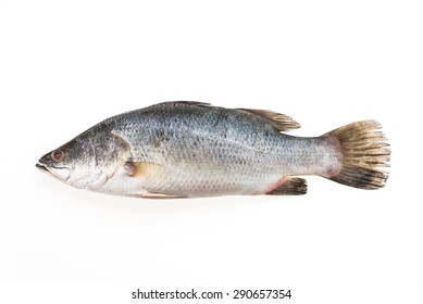 Fresh Sea bass fish isolated on white background