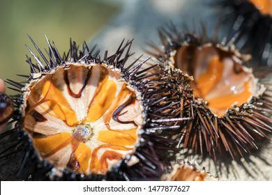 Fresh sea urchins, ricci di mare, on a rock, close up, selective focus. A typical dish of Salento, Puglia, is eaten raw with bread, or made with pasta. Southern Italy. Seafood backgound.