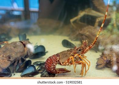 Fresh seafood in aquarium served at greek restaurant on Crete island. Europe. - Shutterstock ID 519032581