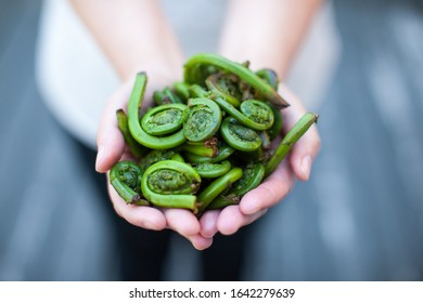 Fresh Seasonal Fiddleheads Holding in Hands