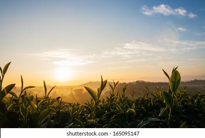 A fresh shoots tea in morning sunrise