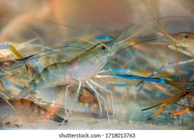 Fresh shrimp in the water for cooking.(