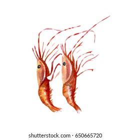 fresh shrimps illustration. Hand drawn watercolor on white background