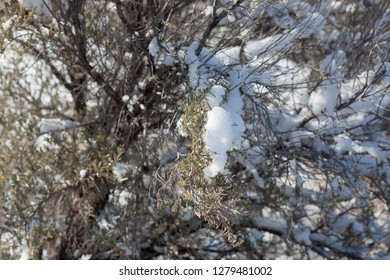 Fresh snow is caught in the branches of a wild sage shrub at the base of the Colorado national Monument.
