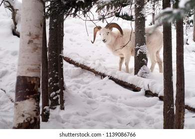 Fresh snow cover the landscape between the photographer and male Dall Sheep.
