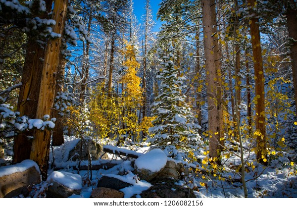 Fresh snow from an early fall storm in the Snowy Range Mountains outside of Laramie, Wyoming. Bright, vibrant colors of aspen leaves mix with the white snow.
