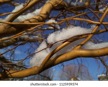Fresh snow on the branches