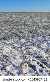 Fresh snow on green wheat field.