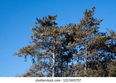 fresh snow on pine tree branches with bright blue sky background