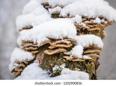 fresh snow on the timber fungi