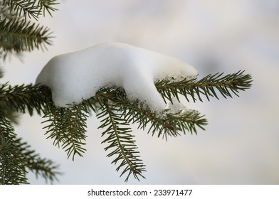 Fresh snow on a young pines branch