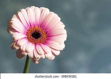 Fresh soft pink gerbera daisy, with pollen showing.