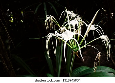 Fresh soft white flowers of Spider lily, Giant lily (Hymenocallis Littoralis Salisb) are blossoming on tree in the garden