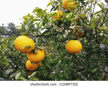Fresh South Korea orange 'hallabong' fruit on the tree