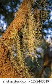 Fresh Spanish moss on a live oak tree with a bokeh background. Taken in Pawley's Island, South Carolina