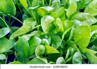 fresh spinach leaves, organic food
