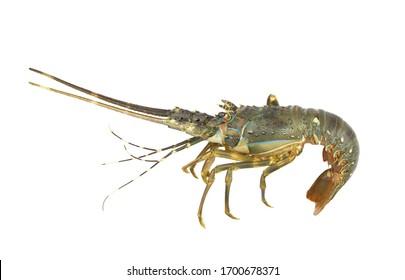 Fresh spiny lobster isolated on white background, Palinurus vulgaris