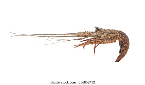 Fresh spiny lobster isolated on white background