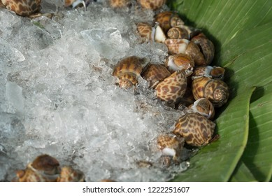 Fresh spotted babylon (Babylonia areolata) frozen in ice over banana leaves for sell in seafood market